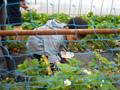 神戸イチゴ狩り 二郎農園