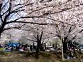 大阪市パンダ公園 花見