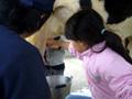 大阪府民牧場 牛の乳搾り体験