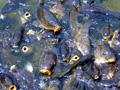 六甲山カンツリーハウス 池の鯉