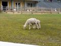 おおさか府民牧場 ヤギ