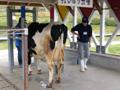 大阪府民牧場 牛の乳搾り