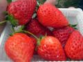 神戸 二郎農園 イチゴ狩り 写真