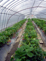 神戸 二郎農園 イチゴ狩り