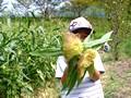 サバーフォーム トウモロコシ