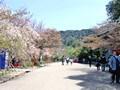 京都 円山公園でお花見